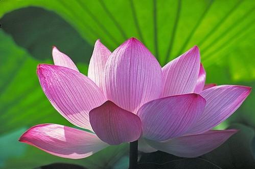 Lotus x