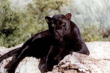 Man panther