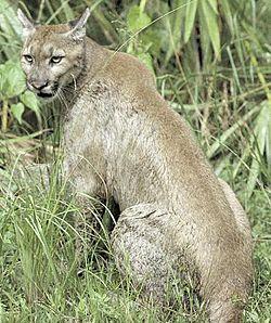Puma 250