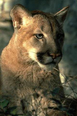 Puma serie